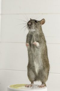 How Dry Ice Can Assist in the Fight Against Rats